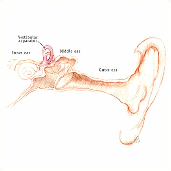 Details of the vestibule organs of the inner ear responsible for balance