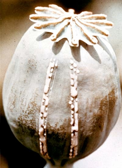 Raw Opium Oozes from a Lanced Poppy Seed Pod