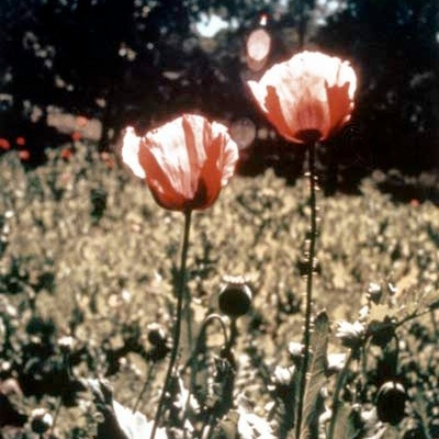 Sap from the poppy Papover somniferum (pictured below) has been used for thousands of years to relieve pain and treat symptoms of diseases.